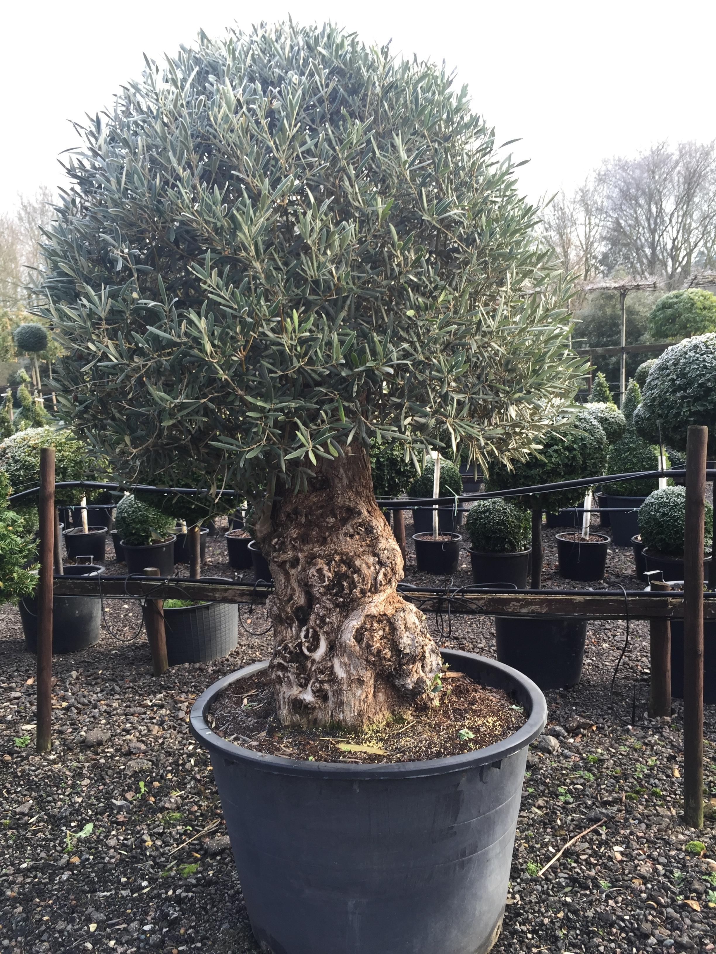 Topiary Standard Topiary Lollipop Crown Topiary Topiary Trees Uk London