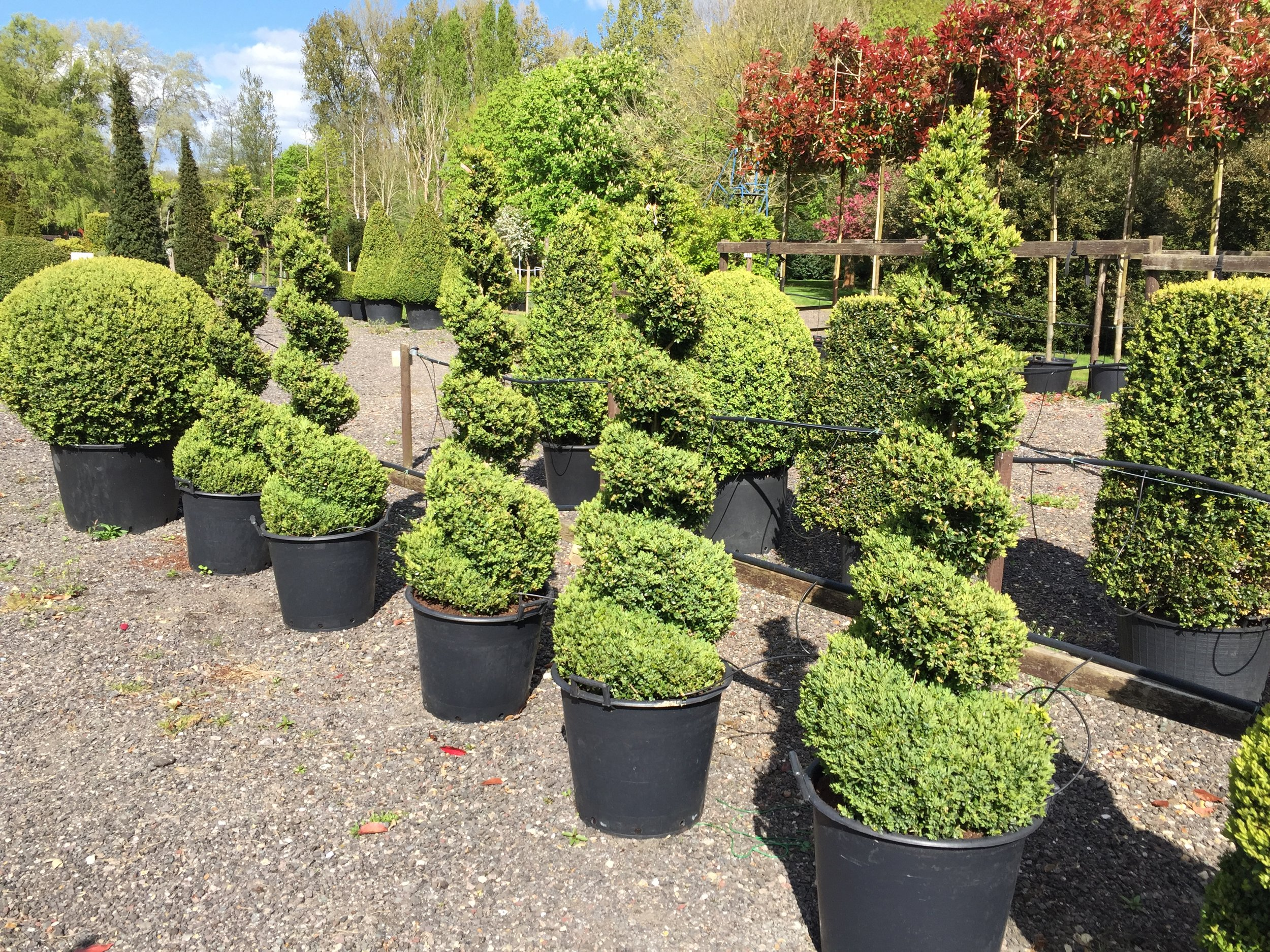 Topiary Spiral Gallery Crown Topiary Topiary Trees Uk London