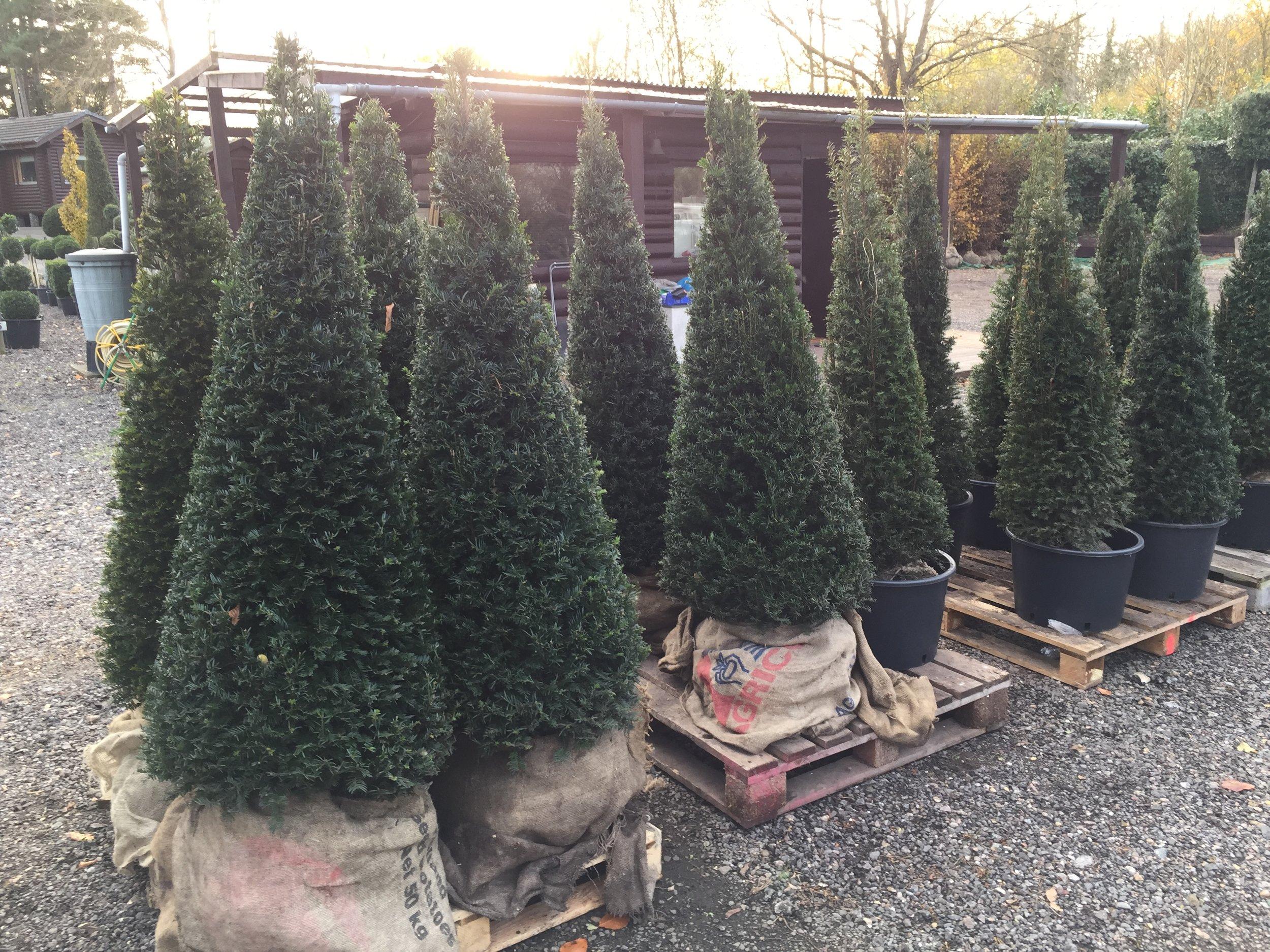 Yew cones