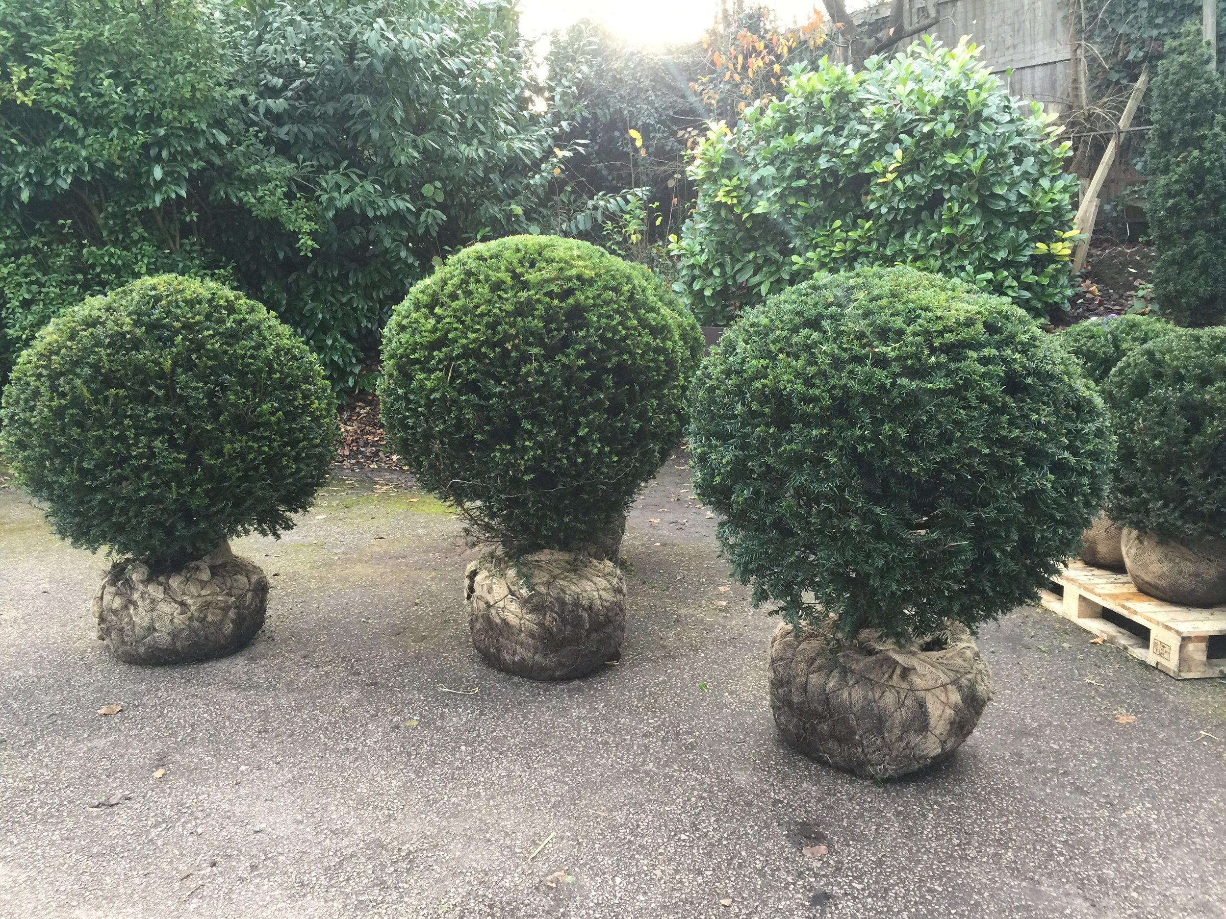 Yew balls