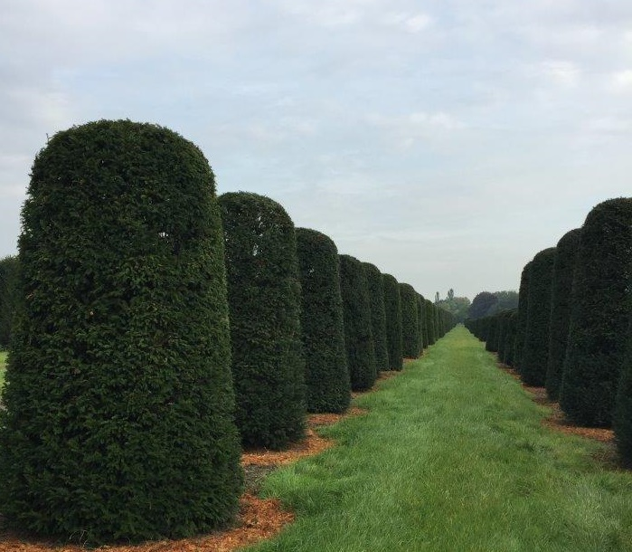 Large Yew beehives