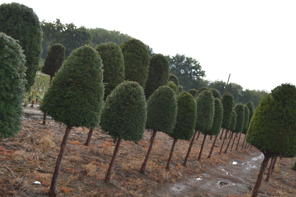 Yew beehives on a stem