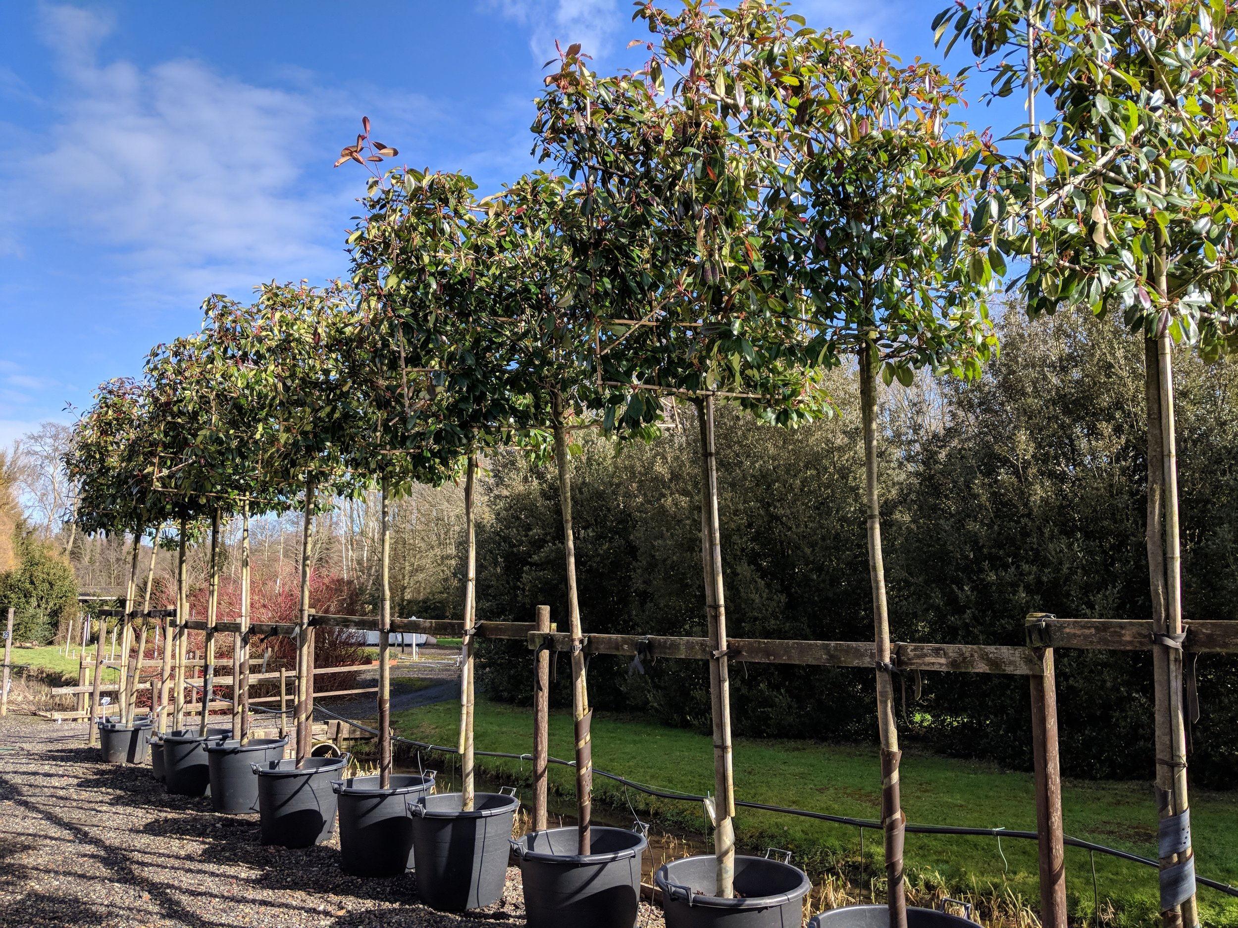 photinia red robin mature pleached