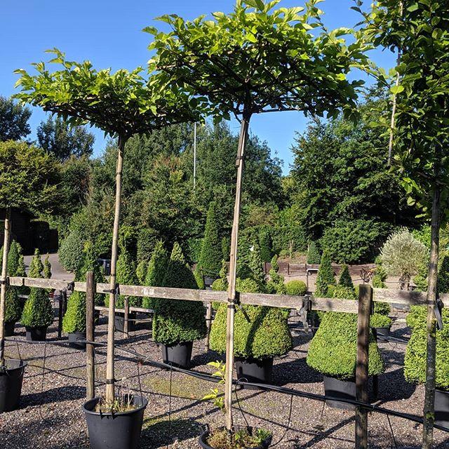 Parasol trees, morus alba