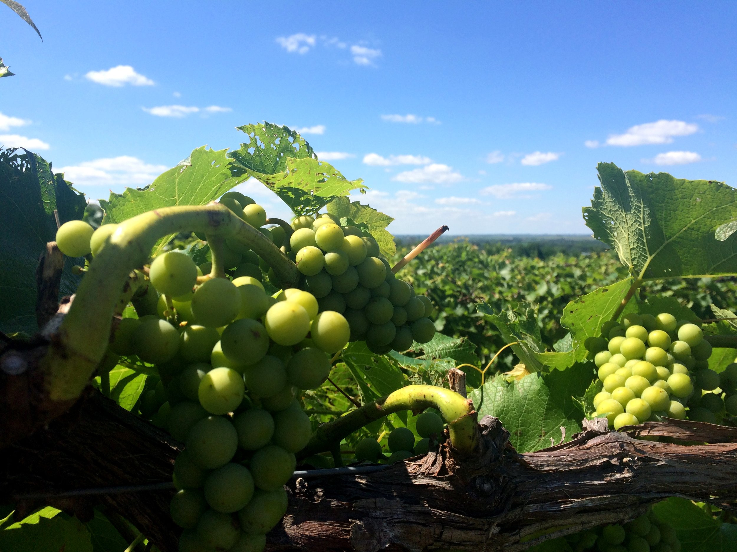 Galena Grapes on Vines