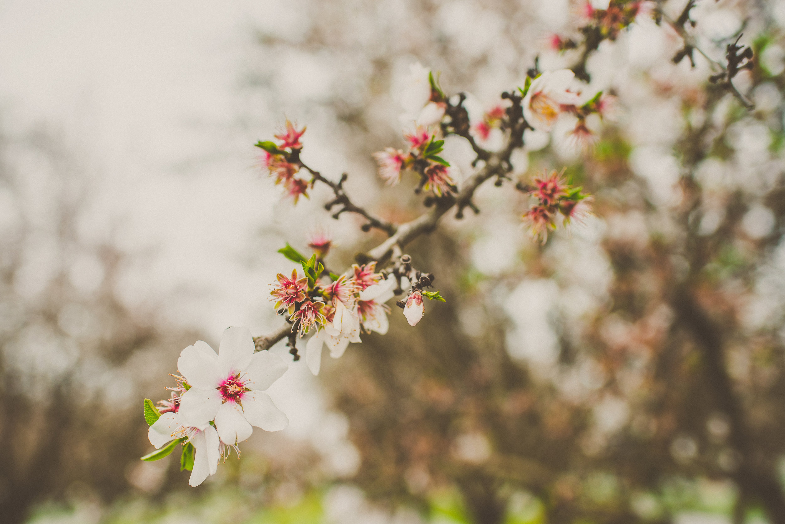 Almond Blossom Family Portraits-1.jpg
