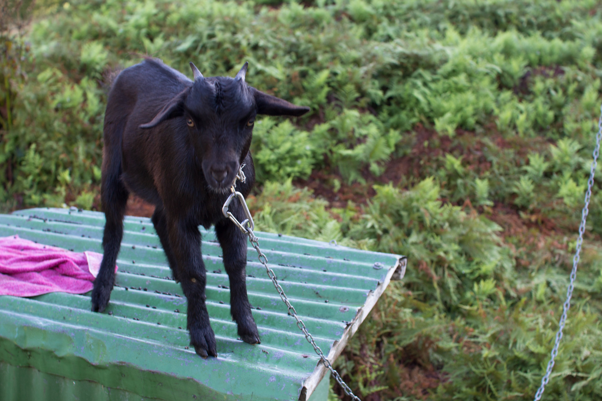 'Bottle', the camp goat at Resolution Bay.