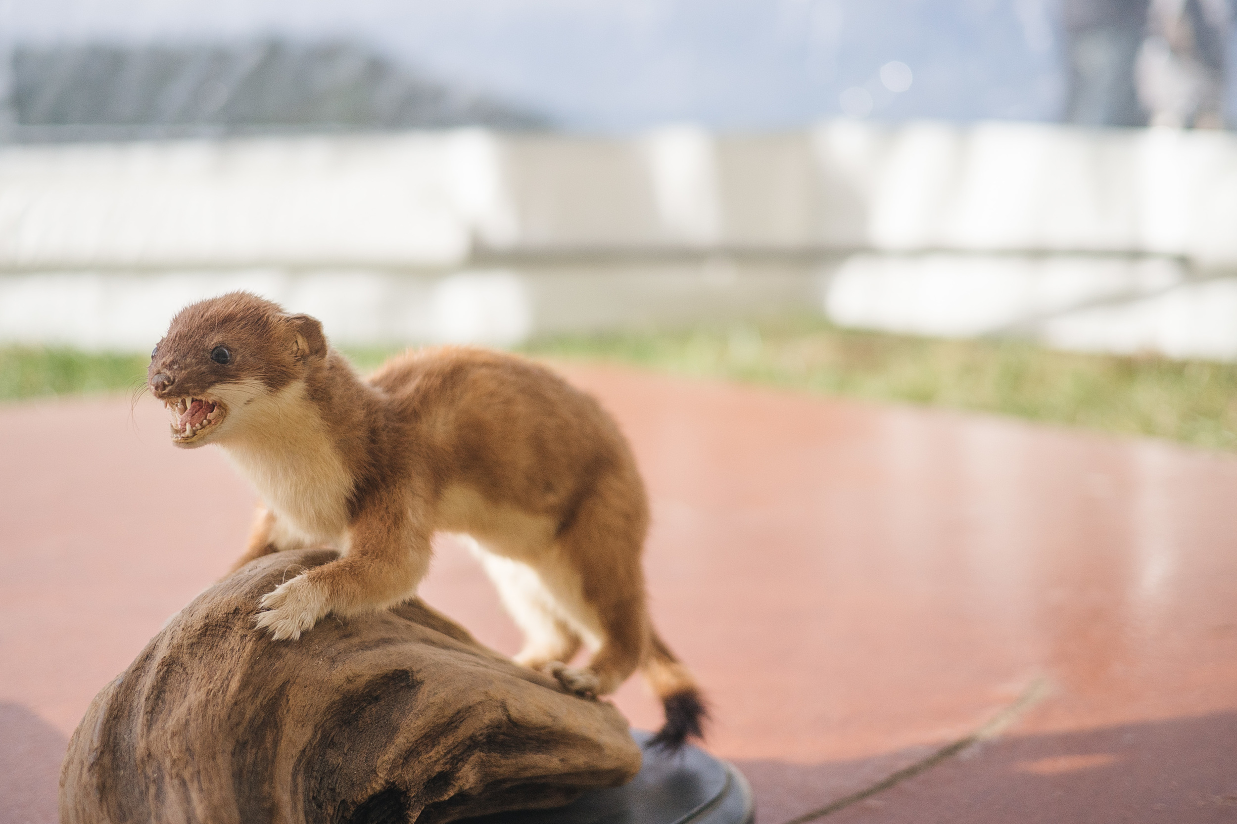 A taxidermied stoat fiercely guards the podium during speeches.