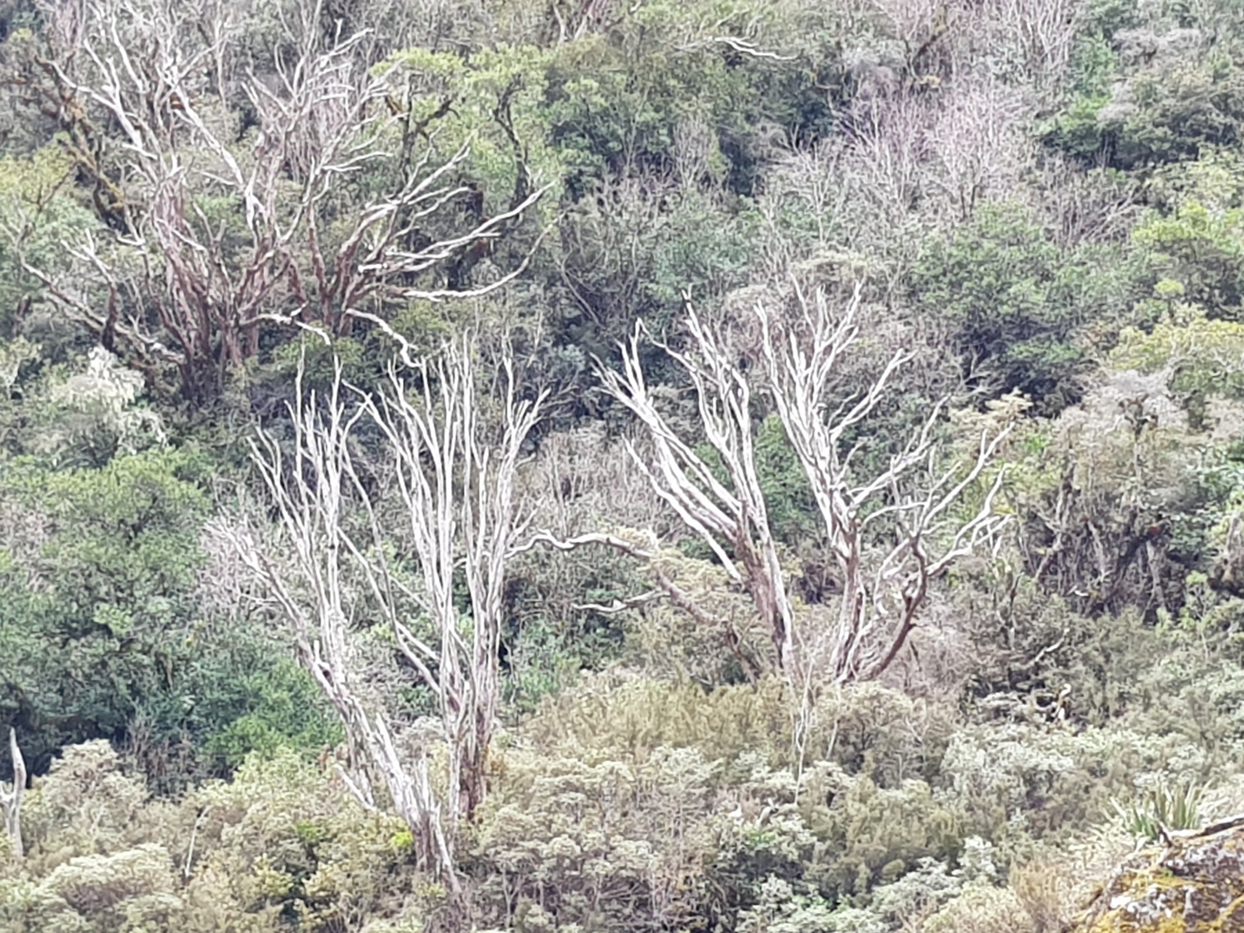 Possum browse on rata in the research area, Dec 2017