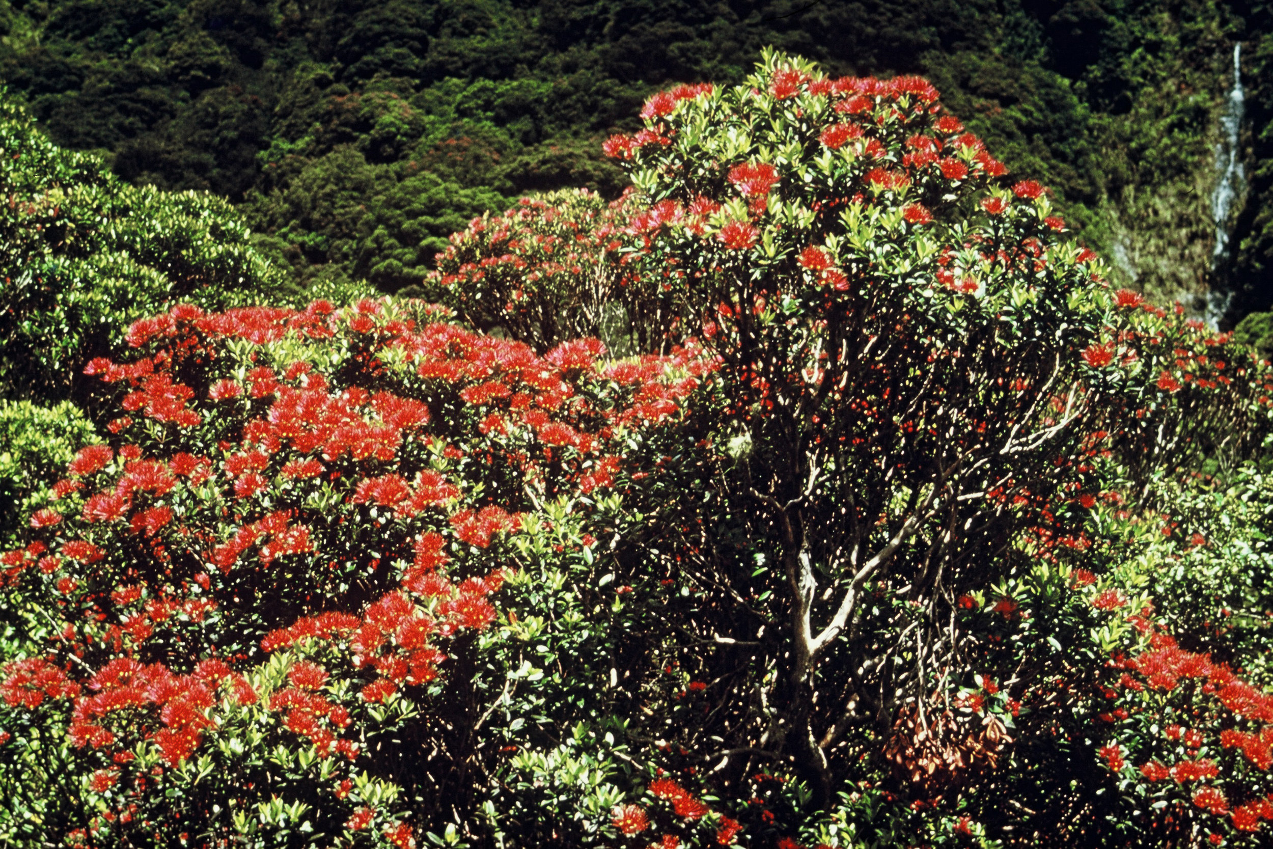 Healthy rata in flower (Photo credit: DOC)