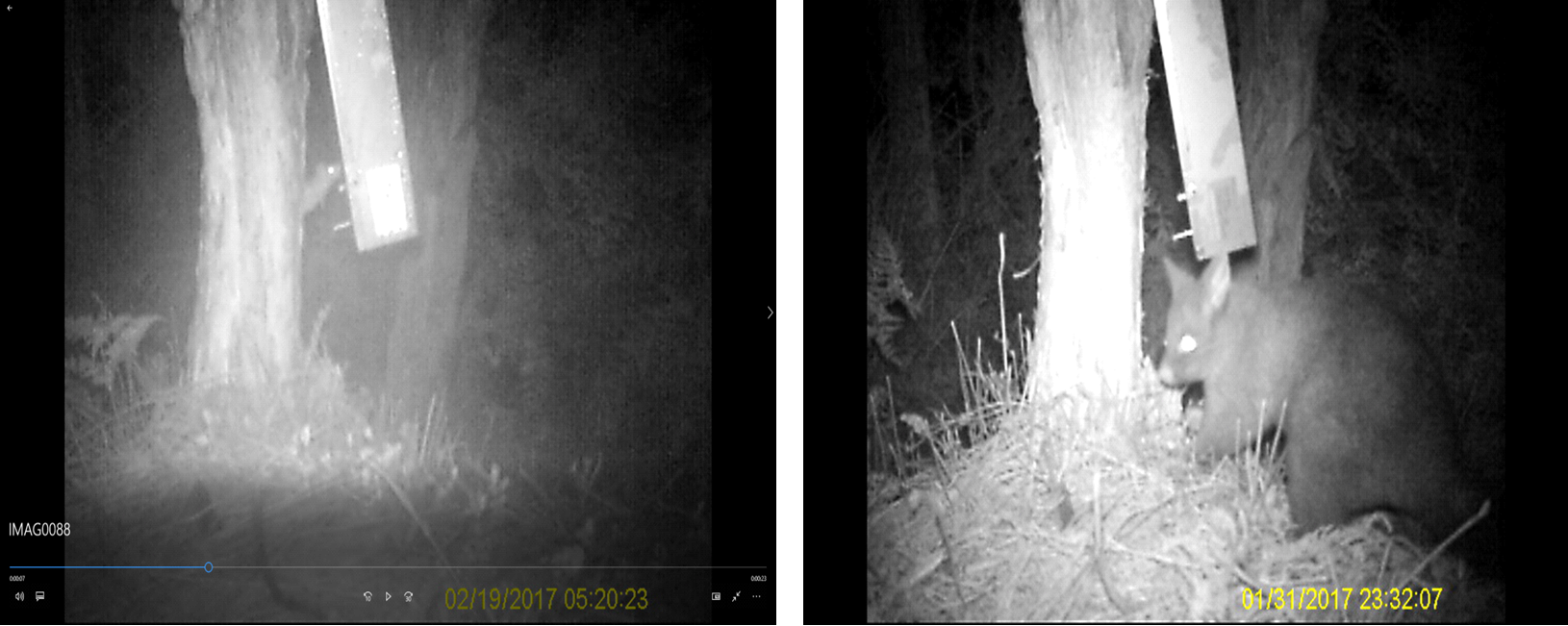 Prototype automated lure dispenser (tree-mounted) visited by a rat (left) and a possum (right). Photo credit: ZIP