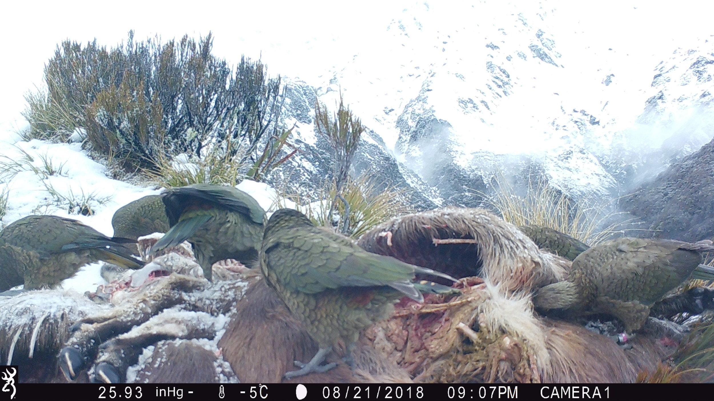 Six kea feeding at a tahr site