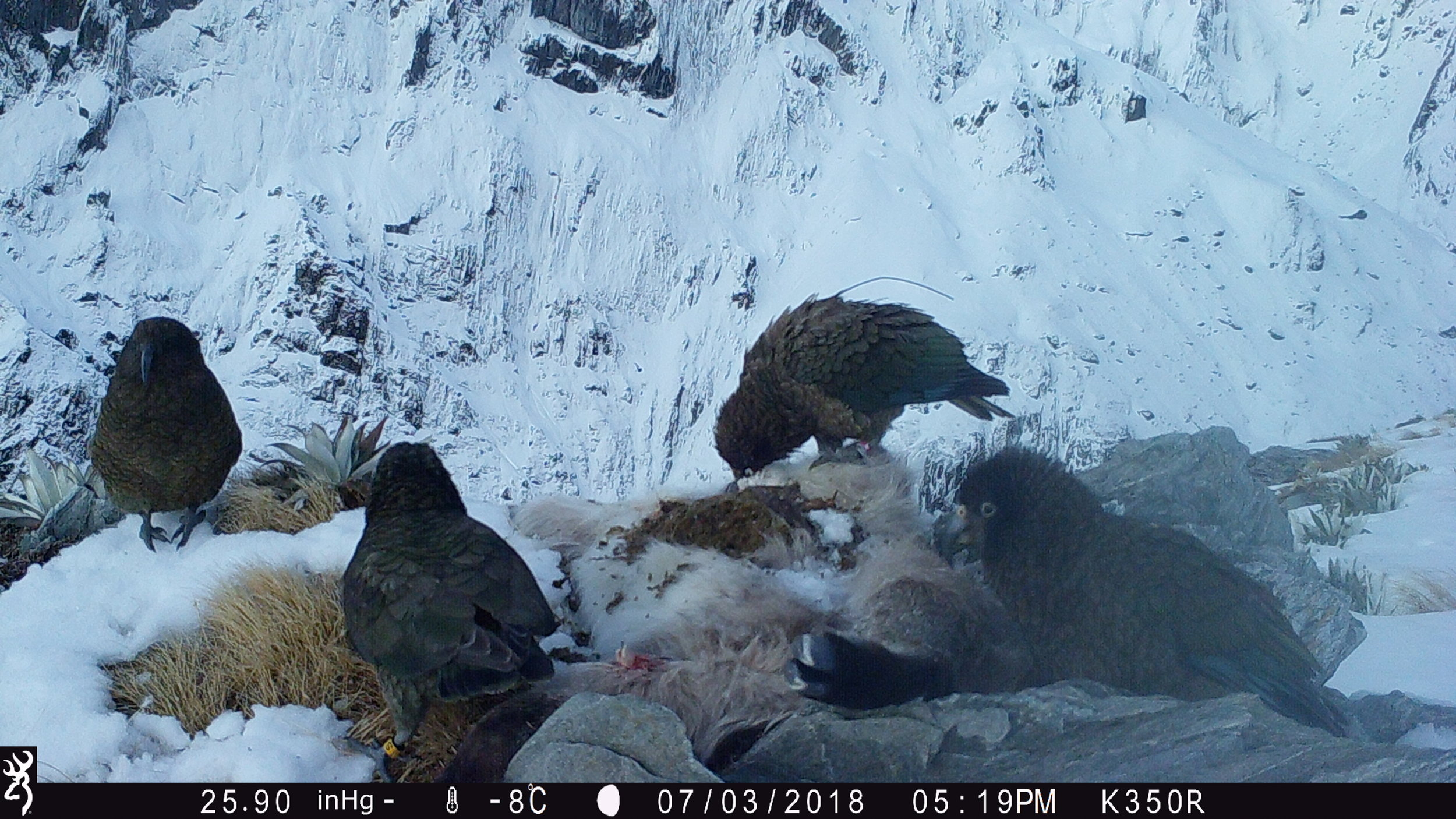 Four kea feeding at a tahr site, including one of the birds in our banded population (second from left) and one from our radio-monitored population (second from right)