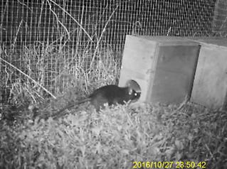 Rat seeking shelter 1.png