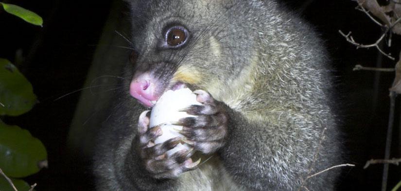 Possum eating bird egg  (Nga Manu Images)