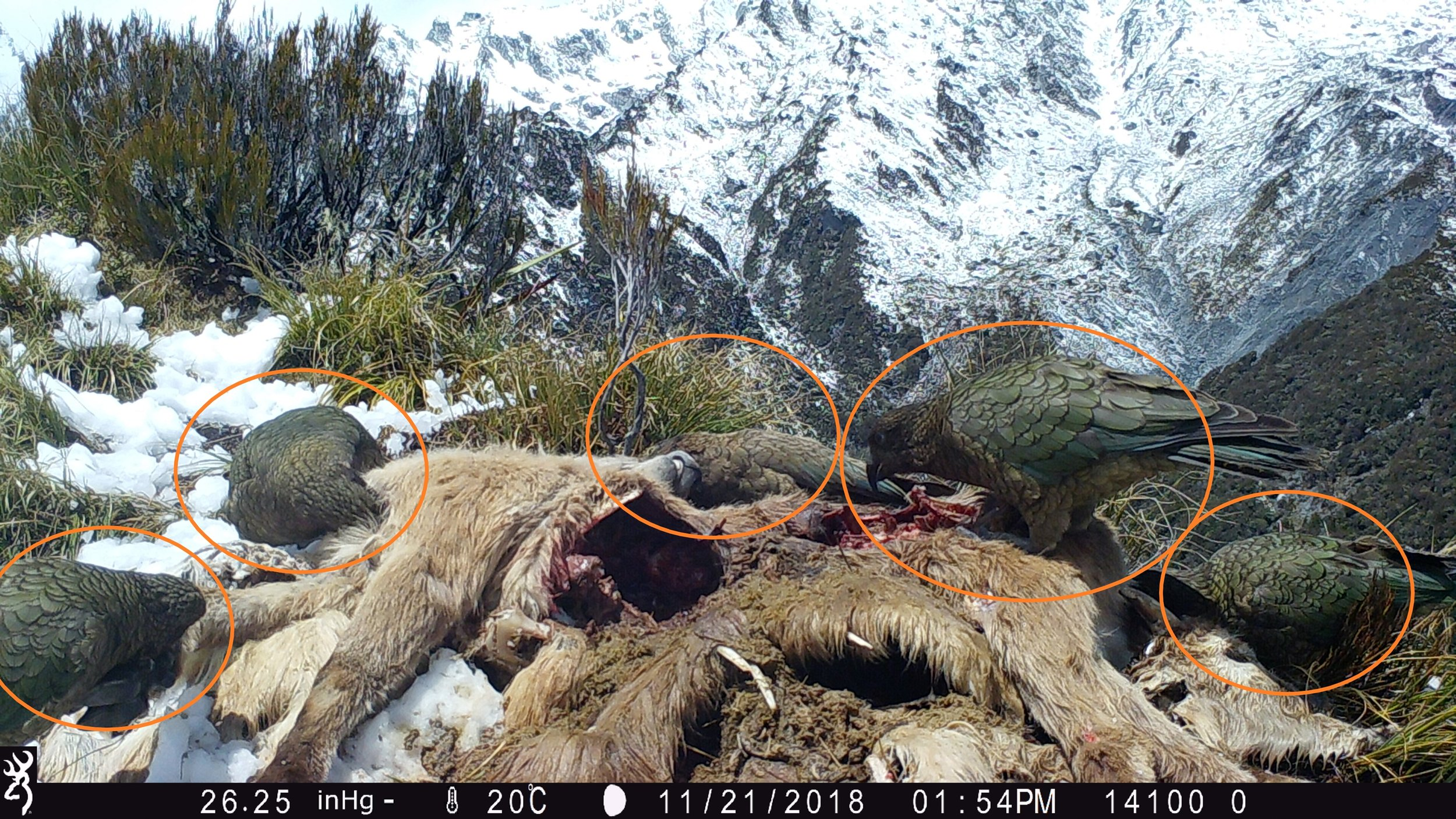 Figure 3. Five kea consuming a tahr carcass during Phase 2 (November-December 2018).