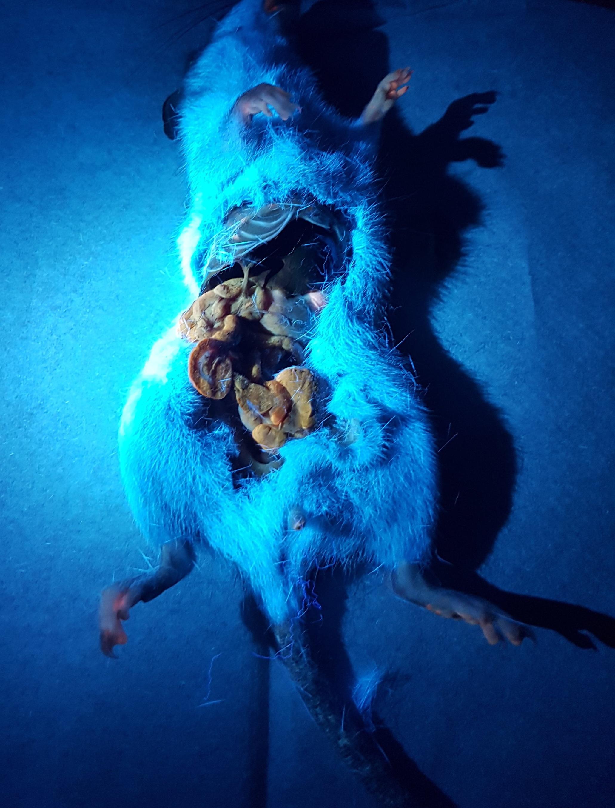 Ship rat showing internal rhodamine B staining under ultraviolet light