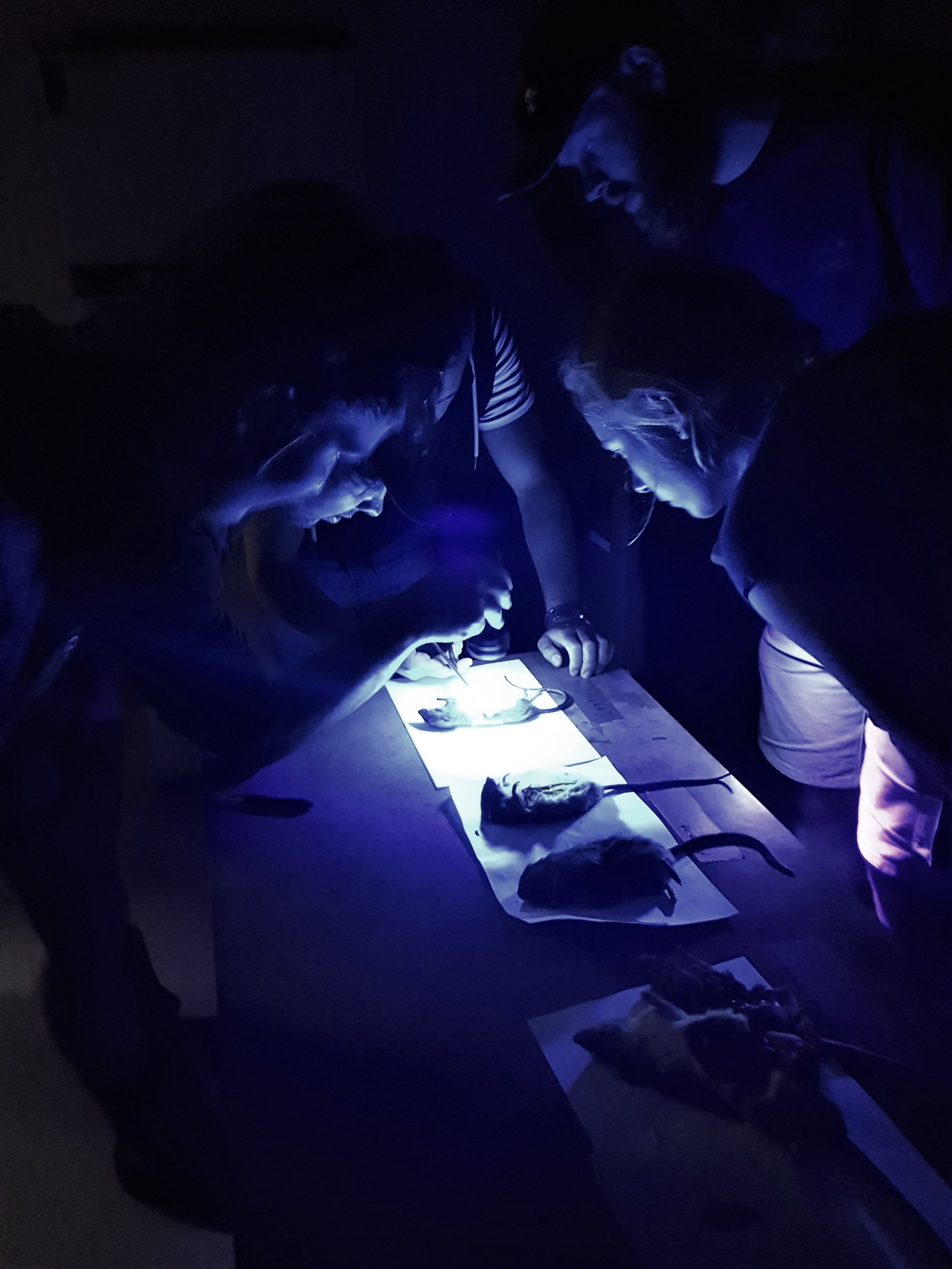 The Perth River valley field team examine rat carcasses for rhodamine B under ultraviolet light