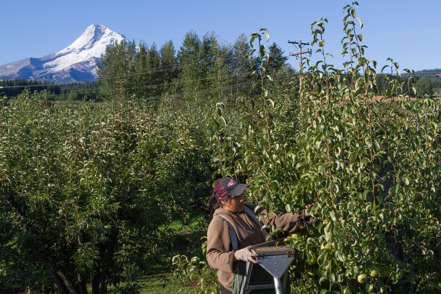 PFM - Kiyokawa harvest 00718.jpg