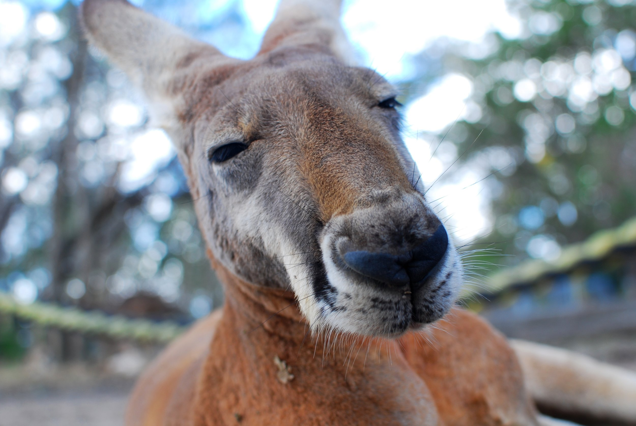 I wasn't sure what picture to use for this so here's a roo because that's Aussie, right?