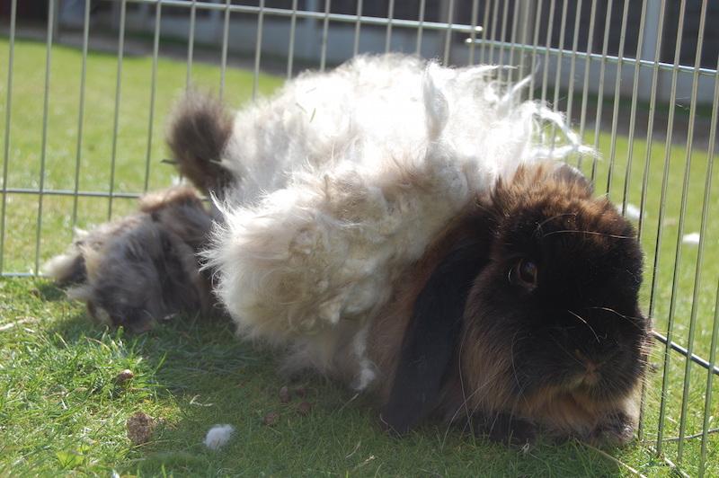 Jenny skal barberes       Foto: Fat Fluffs Rabbit Rescue