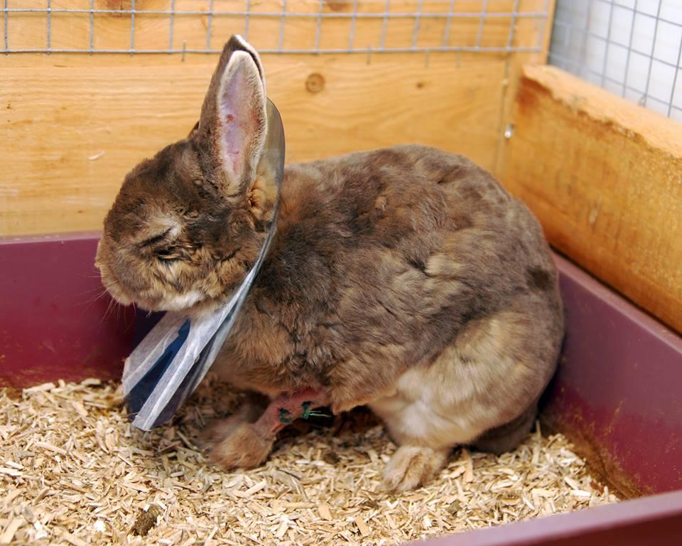 Det viste seg at Dinka hadde abscesser på den ene forlabben. De ble fjernet kirurgisk, men kaninen fikk dessverre skader på det ene øyet under operasjonen. Det var en periode hun ikke hadde det så greit, men hun fikk både omsorg, godt stell og tilstrekkelig med smertelindring. I dag er hun en glad og frisk kanin.  Foto: Katarina Vallbo, Sverige