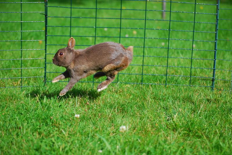 Kaniner er raske og aktive dyr som trenger mye løpeplass. Theo leker.  Foto: Hedda Aurbakken