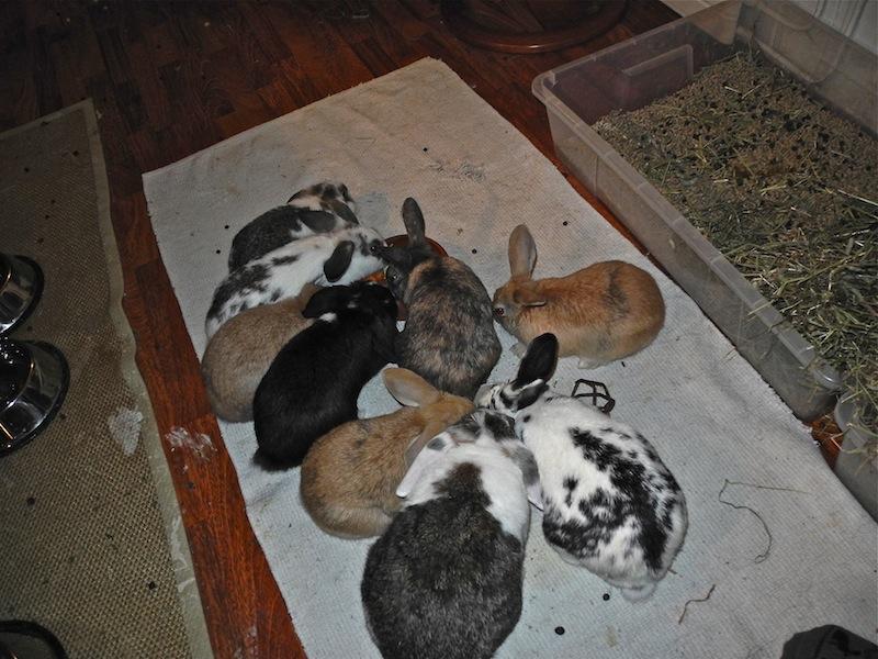 M-gjengen var på det meste 13 kaniner. Alle ble naturligvis kastrert. Noen ble adoptert bort, mens de fleste lever sammen den dag i dag, fire år etter dette bildet ble tatt. Foto: Marit Emilie Buseth
