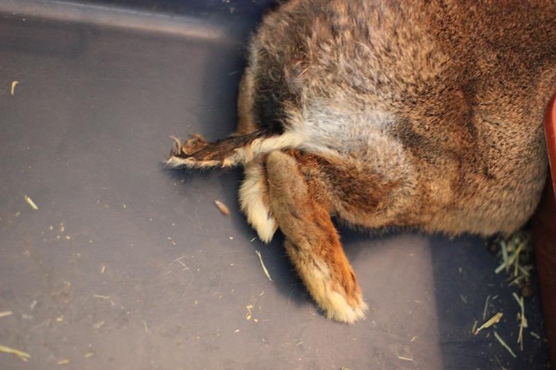 Lårene til den store kaninen var i elendig forfatning.  Foto: Marit Emilie Buseth