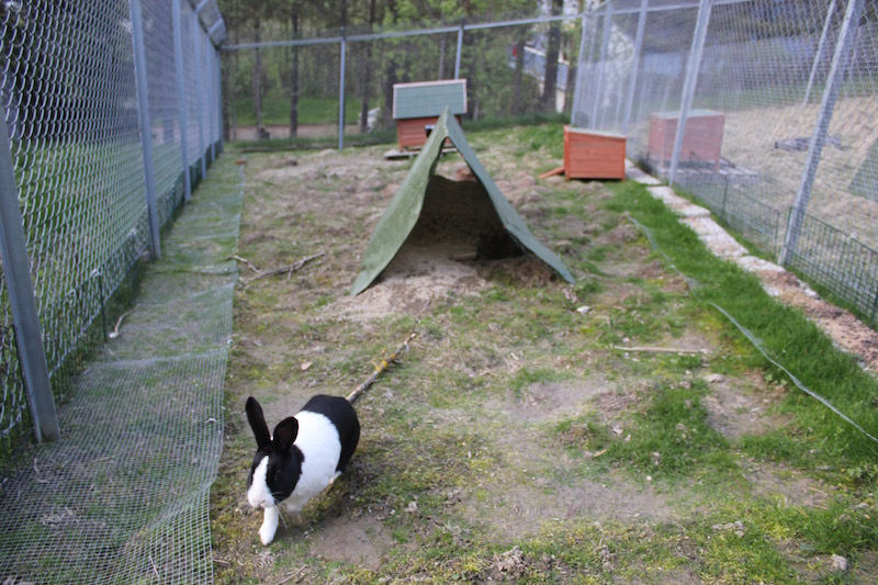 Hugo og Melissa har et bygningsarbeid på gang i teltet i bakgrunnen. De har aldri satt i gang et prosjekt ved gjerdene, men det ligger netting et godt stykke inn i i gården. Til høyre er det en luftegård for et annet kaninpar, og der er det sikret med kompostgjerder et stykke ned i jorda. Gården er såpass stor at kaninene har rikelig med plass til å sprinte omkring og holde seg i form. De har adgang til et isolert og mildt temperert kaninhus. Foto: Marit Emilie Buseth