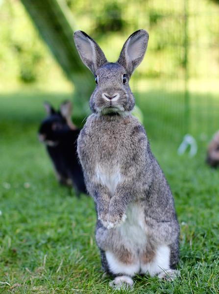Mandel er anatomisk heldig. Hun har fine ører, lang snute, normal pels og lang kropp. Av mine fire er hun den som ligner mest på den europeiske villkaninen.  Foto: Marit Emilie Buseth