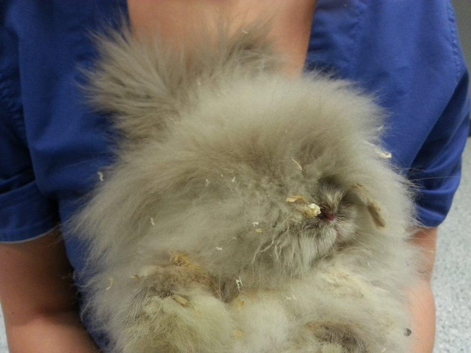 En kanin uten utsikt. Foto. Titti Mjaaland Skår,  Anicura Byåsen Dyrehospital