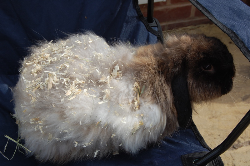 Jenny hadde smertefulle problemer som følge av manglende stell av pelsen.  Foto: Fat Fluffs Rabbit Rescue, UK