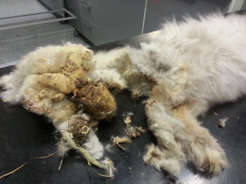 Kanin og etterlandskaper etter at mye av pelsen er fjernet. Godt for kaninen. Foto: Titti Mjaaland Skår, Anicura Byåsen Dyrehospital
