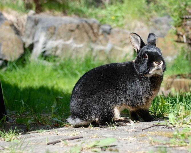 kaninavl, kaninkunnskap, kaninunger