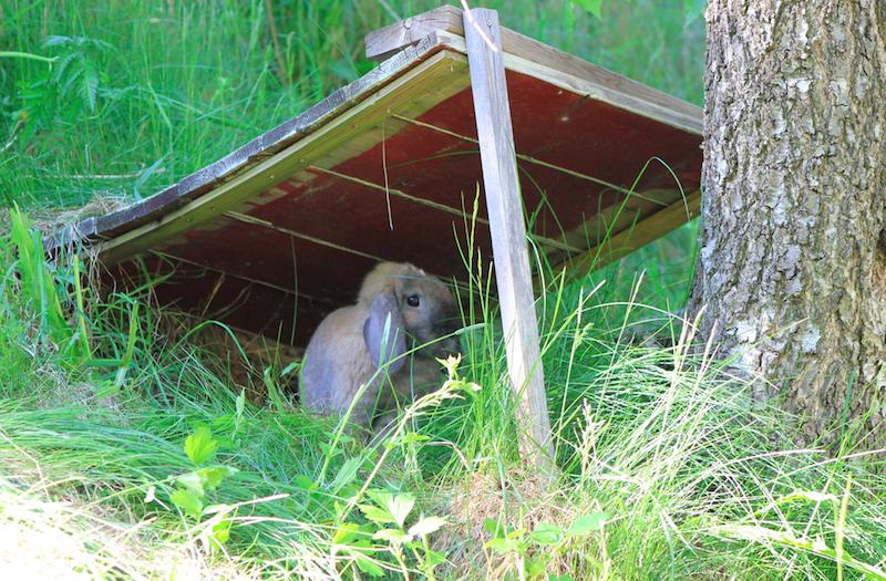 I en løpegård må man alltid sørge for å ha skygge. Lag små gapahuker, hus, telt mm og gi kaninene fine tilholdssted. Her koser Even seg i skråningen.  Foto: Marit Emilie Buseth