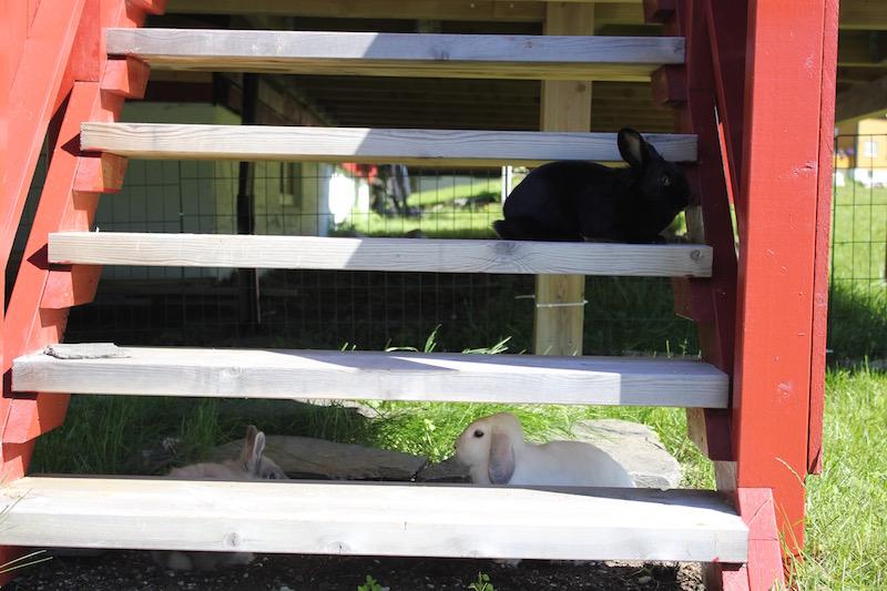 Tre kaniner og en trapp som gir skygge  Foto: Marit Emilie Buseth