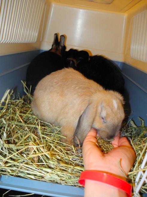 Even smager på lidt foder piller i rejseburet. Harald og Melis er med. Jeg anbefaler at have kanin vennerne med på klinikken og ikke separere venner.