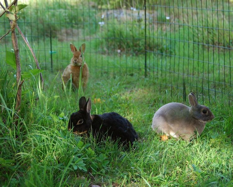 Kaniner liker å gresse i flokk  Foto: Katarina Vallbo