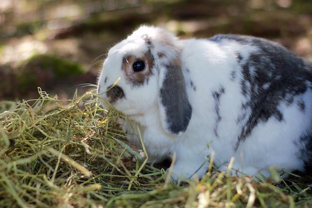 Kaninen min spiser ikke høy. - Hva skal jeg gjøre?