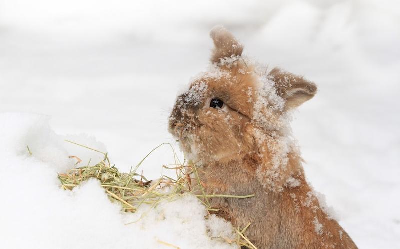 Tåler kaniner kulda? -