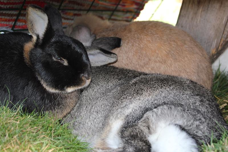 Kaninene lå i festivalteltet og koste hele dagen