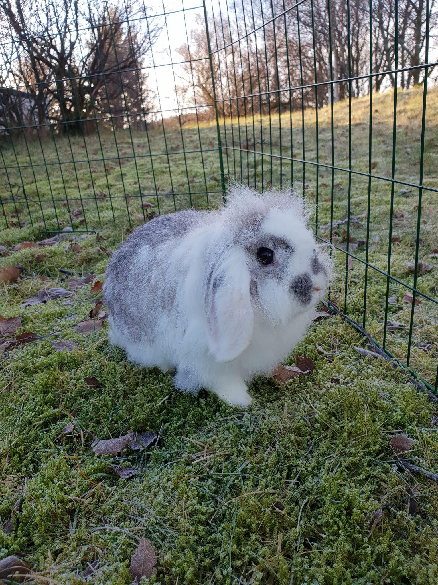 Mor kanin