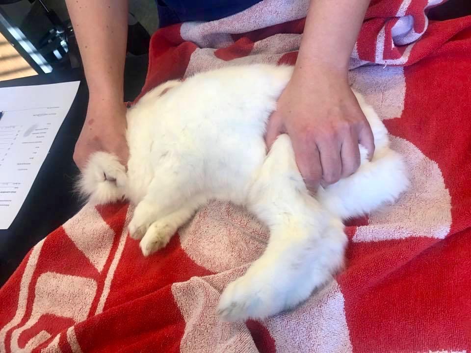 Kokos blir holdt i et trygt grep og ligger rolig når blodprøven tas fra beinet