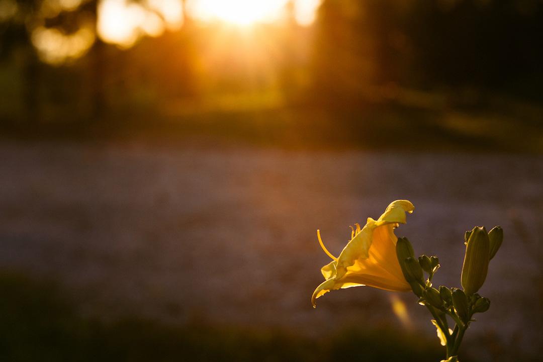 Yellow Daylily-1224.jpg