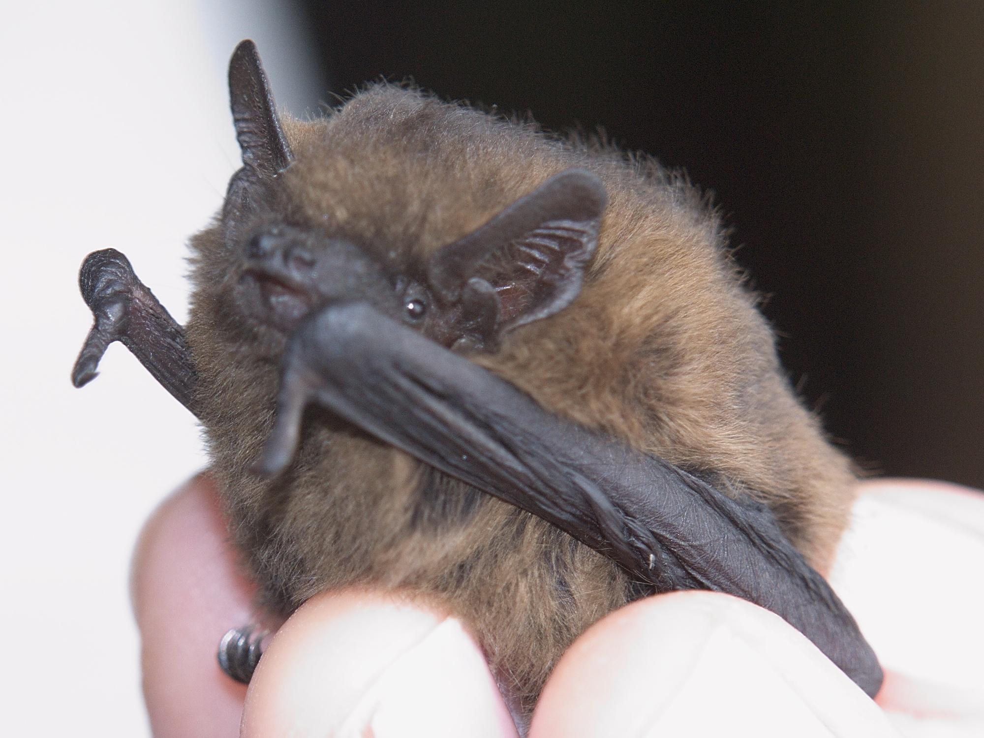 Bats  Unidentified pipistrelles  Pipistrellus sp(p).