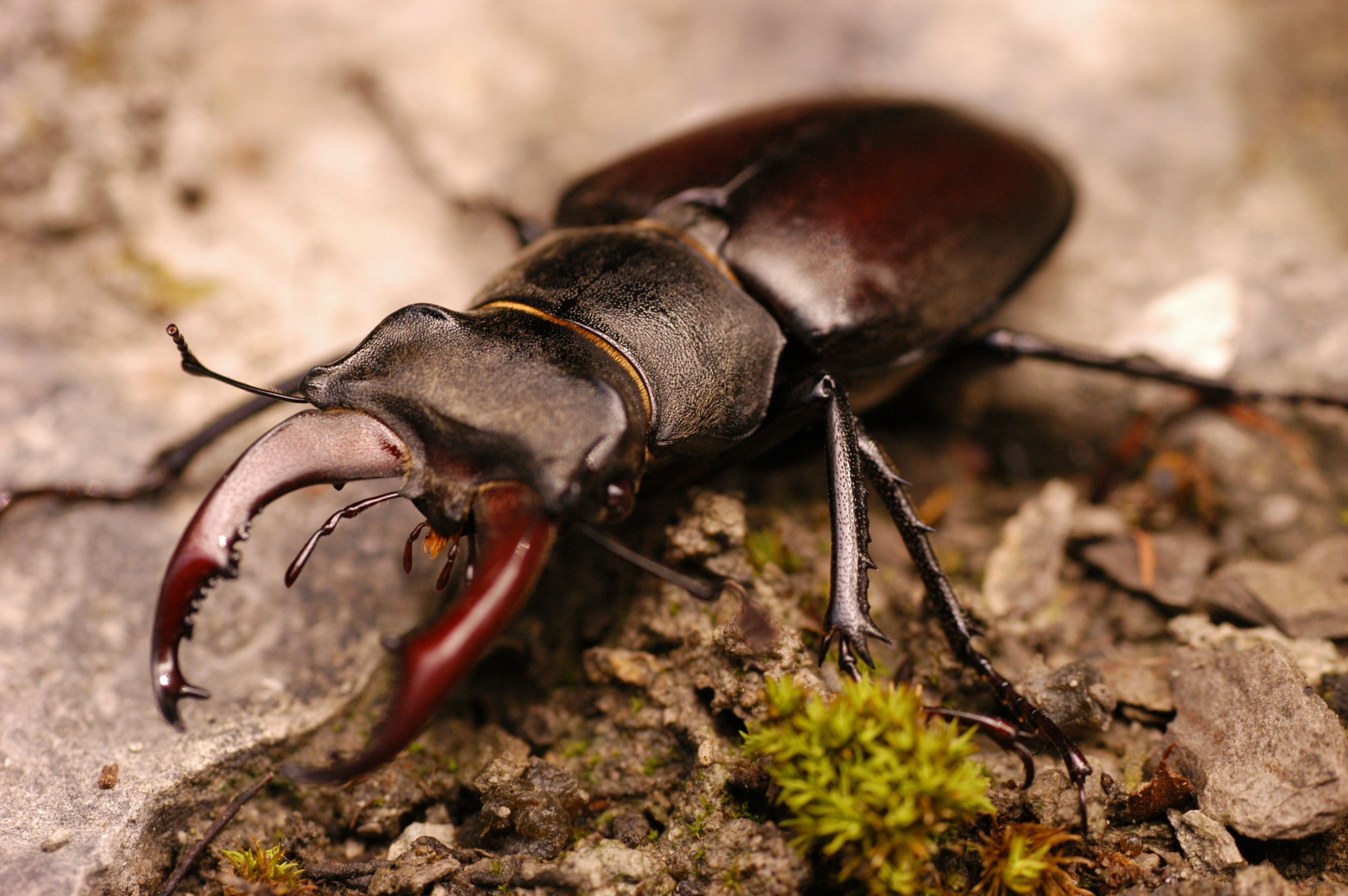 Invertebrates  The stag beetle  Lucanus cervus  has been recorded. The stag beetle is Britain's largest terrestrial beetle- between 5cm and 8cm in length. A nationally scarce and globally threatened species, it is protected under the Wildlife and Countryside Act, 1981.
