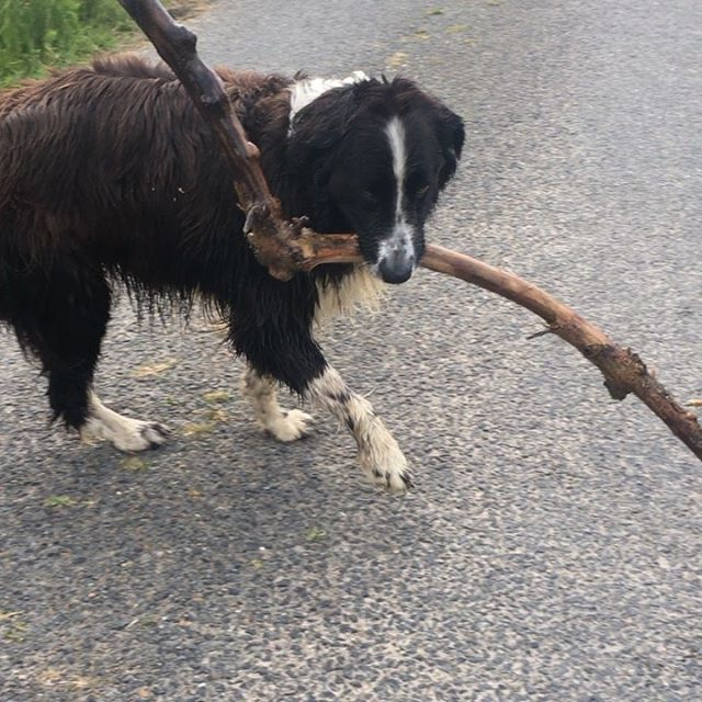 ☀️Yay,Saturday Morning☀️MiloBear is insisted on taking this heavy stick/log home from the beach. He must have carried it a mile already! He is knackered. . . . .  #saturdaymorning #mydog  #newfiecrosscollie #pantingdog #dogwalking #blackandwhitedog #artistsdog #studiodog #artistshelper #boandmilo #doggylove #dogwalk #morningdogwalk #whitingbayardmore