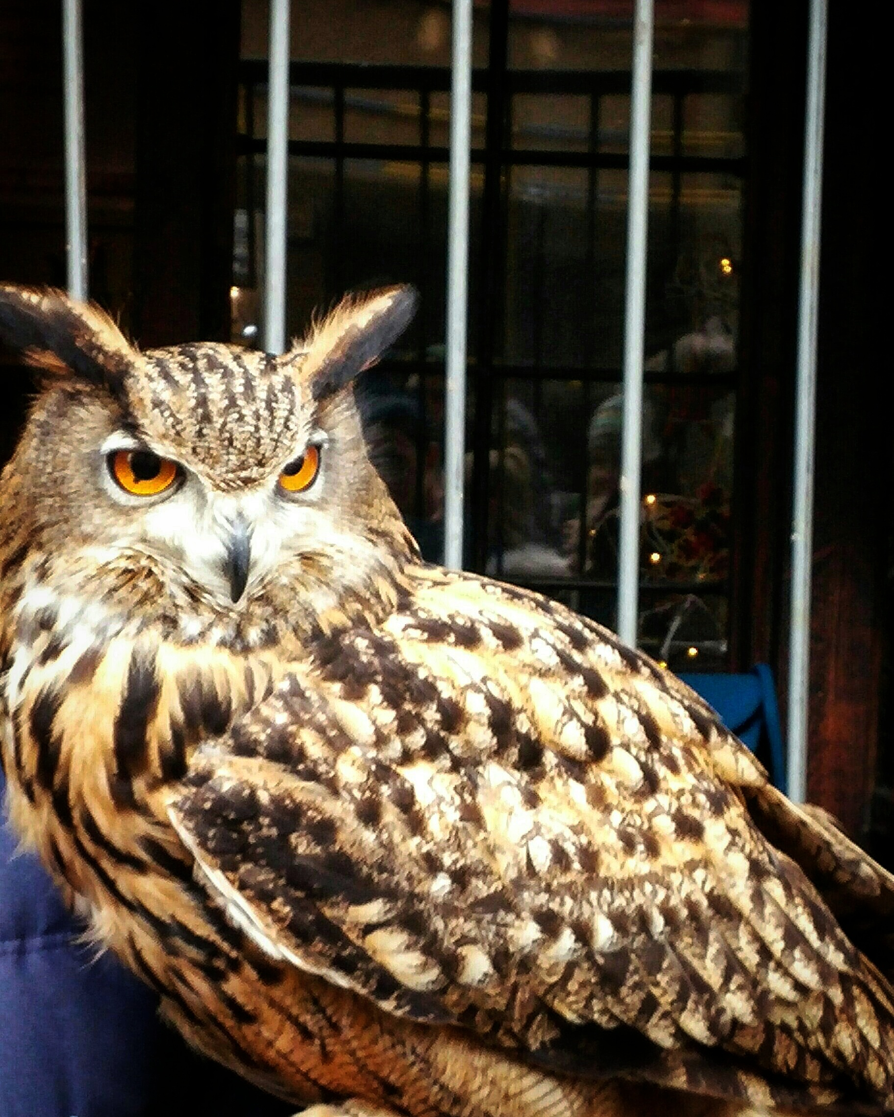 Apparently, the domestication of owls is not uncommon to the Scottish.
