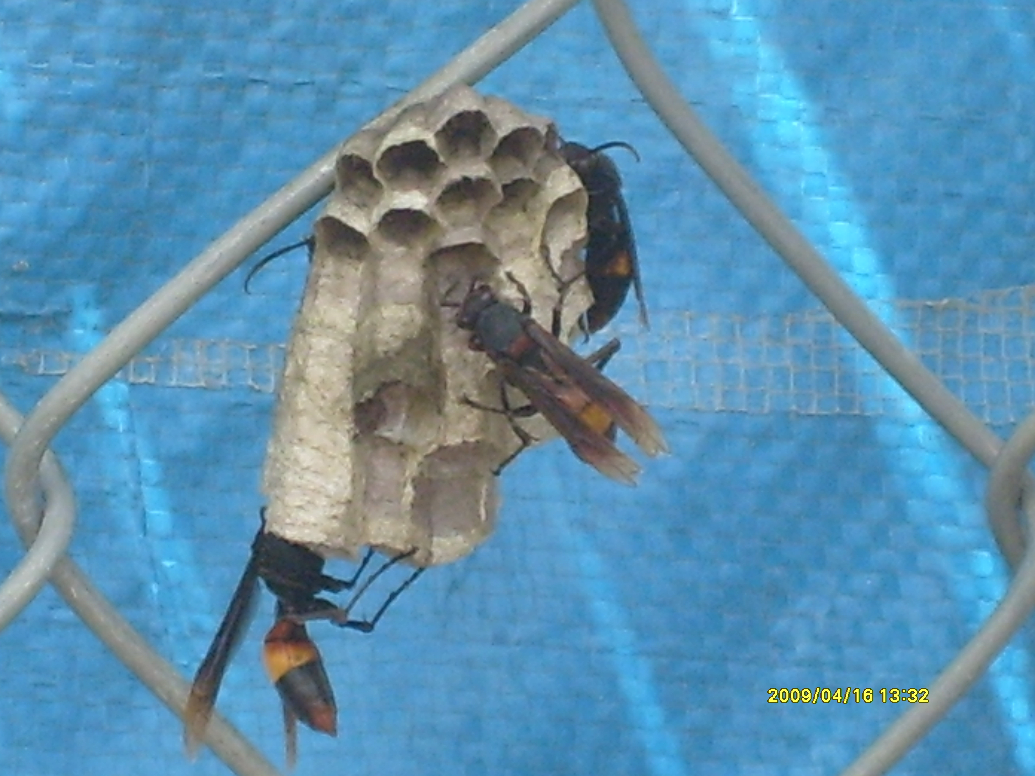 These large wasps are feared by the locals. Their sting is much more painful than the regular wasp or bee, and they are known to be vicious.